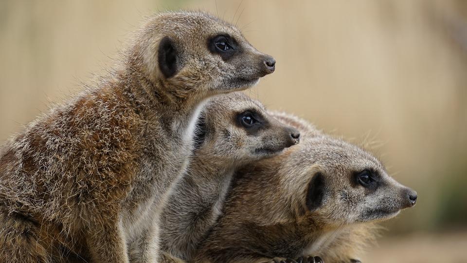 Kenya Meerkat